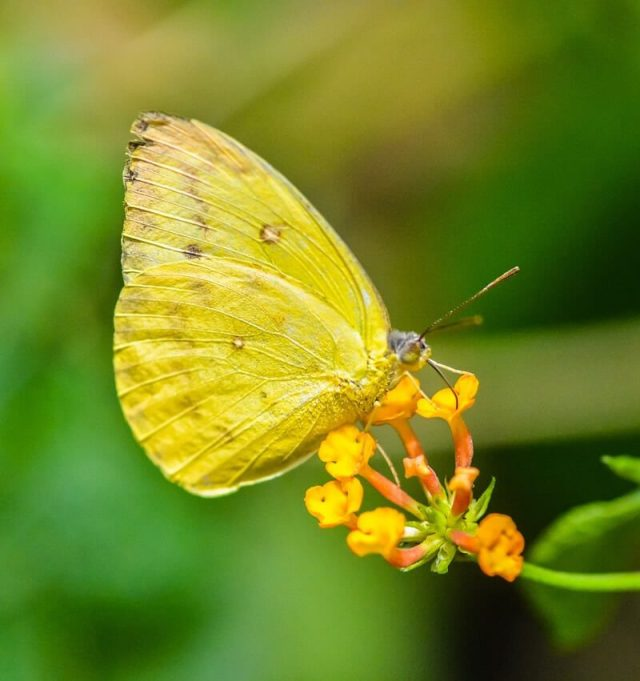 yellow-butterfly-spiritual-meaning