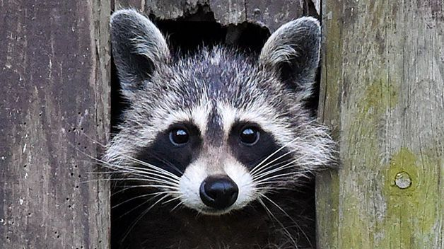Biblical Meaning Of Raccoon