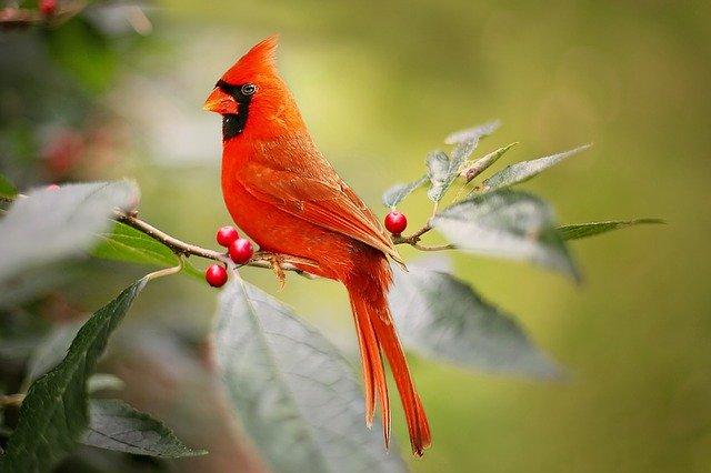 Red Cardinal Biblical Meaning – The Cardinal Symbols of Faith
