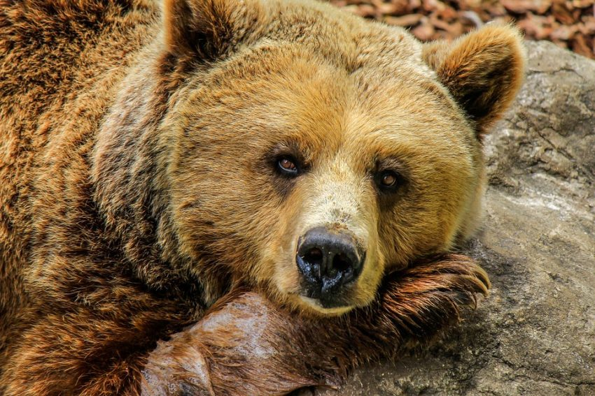 What Do Bears Mean In Dreams Biblically?